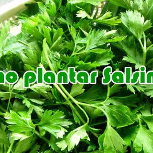 Como plantar salsinha – salsa