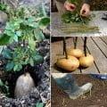 como plantar rosas roseira na batata