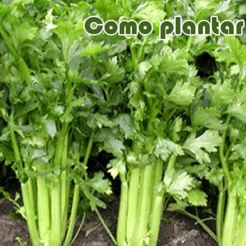 Como plantar aipo