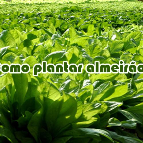 Como plantar almeirão/chicória/endívia