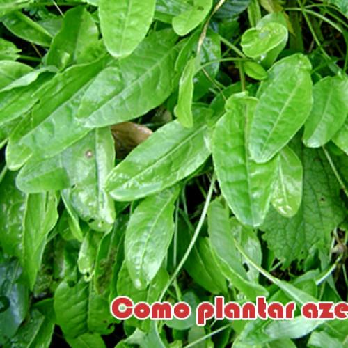 Como plantar azedinha