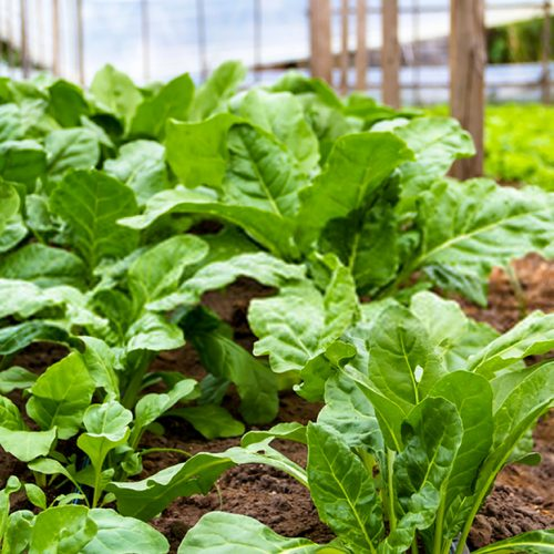 Como plantar acelga