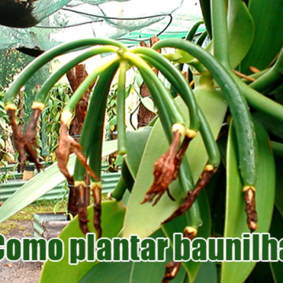 Como plantar baunilha