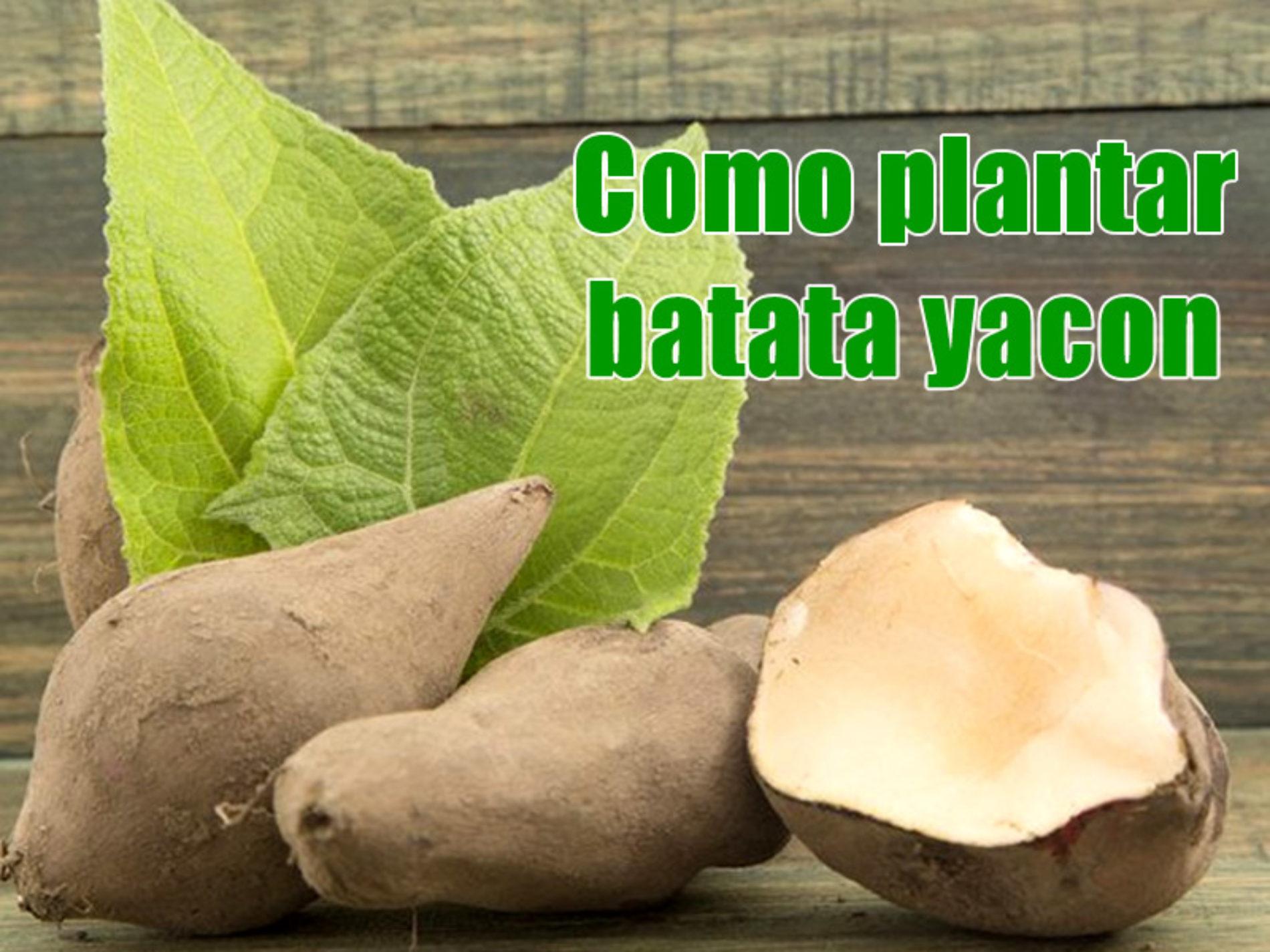 Como plantar batata yacon